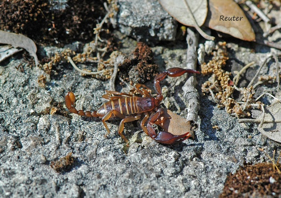 Skorpion (Euscorpius sp.)