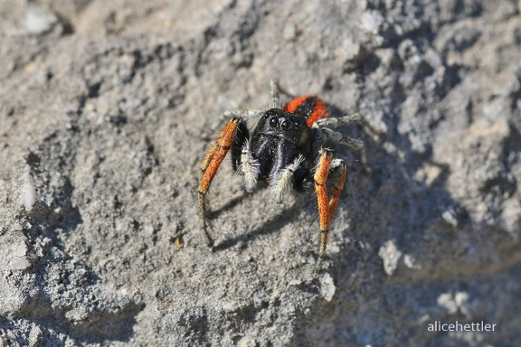 Goldaugenspringspinne (Philaeus chrysops)