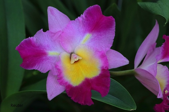 Cattleya-Orchidee (Cattleya percivaliana var. marmoreada)