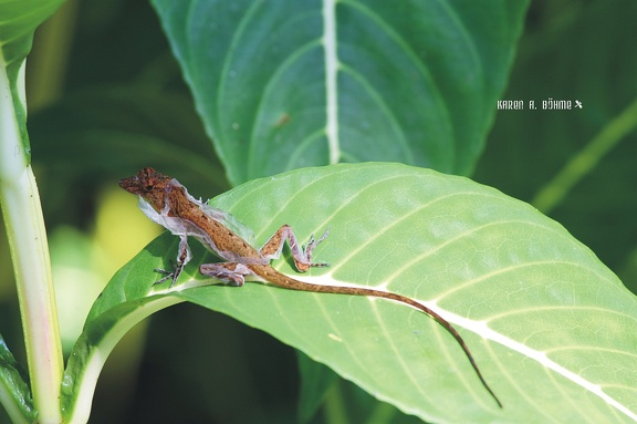 Golfo Dulce Anolis  (Norops polylepis)